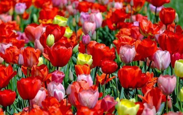 tulips-1321025_640
